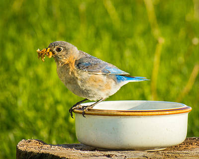 Photograph - All You Can Eat Bluebird Buffet by Bill Pevlor
