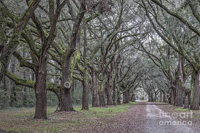 Photograph - Allee Of Oak Tree's by Dale Powell