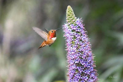 Photograph - Allen Hummingbird On Flower by Diana Haronis