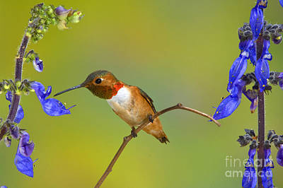 Photograph - Allens Hummingbird by Anthony Mercieca
