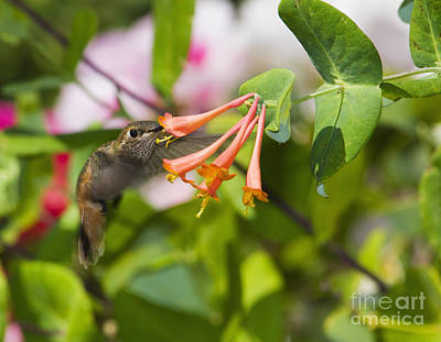 Photograph - Allen's Hummingbird by Dan Suzio