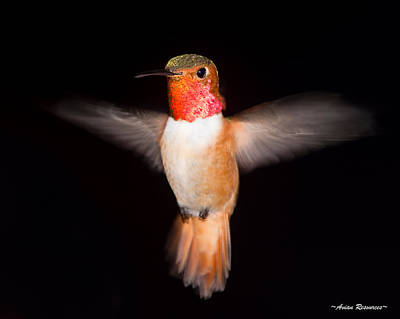 Photograph - Allen's Hummingbird Wing Blur by Avian Resources