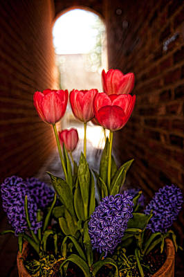 Photograph - Alley Tulips In Detail by Keith Swango