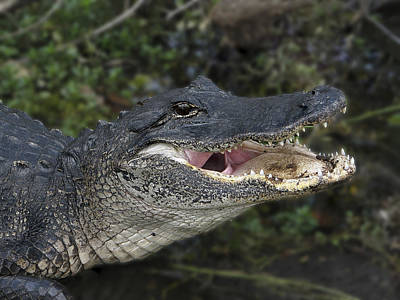 Hiding Photograph - Alligator 1 by Rudy Umans