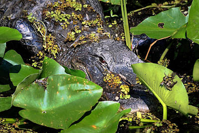 Photograph - Alligator -32 by Rudy Umans