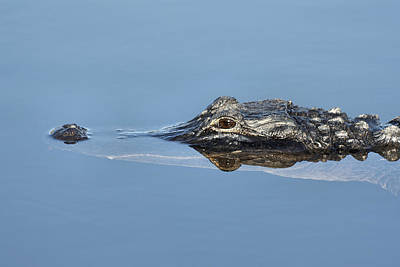 Hiding Photograph - Alligator-7 by Rudy Umans