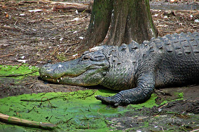 Alligator Photograph - Alligator by Aimee L Maher Photography and Art Visit ALMGallerydotcom