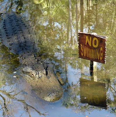 American Alligator Photograph - Alligator And No Swimming Sign by Tony Craddock