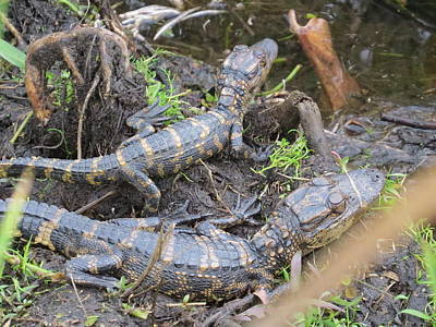 Amphibians Photograph - Alligator Babies by Zina Stromberg