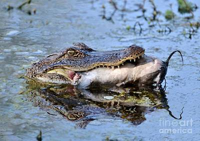 Photograph - Alligator Catches Catfish by Kathy Baccari