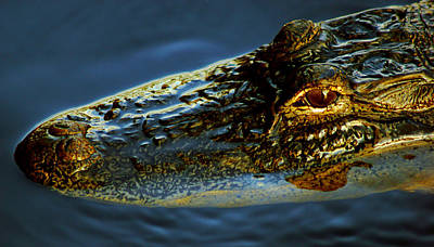 Photograph - Alligator by Daniel Woodrum