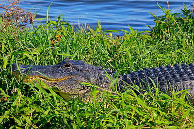 Photograph - Alligator by Denise Mazzocco