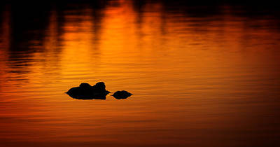Mark Andrew Thomas Royalty-Free and Rights-Managed Images - Alligator Dusk by Mark Andrew Thomas