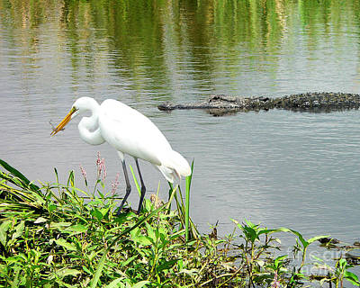 Reptiles Royalty-Free and Rights-Managed Images - Alligator Egret and Shrimp by Al Powell Photography USA