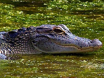 Rusty Trucks - Alligator Head 000 by Chris Mercer