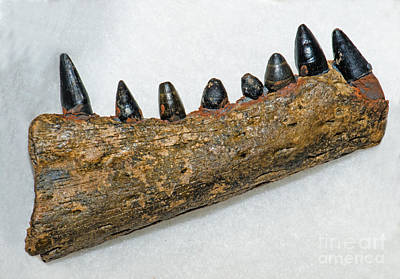 Photograph - Alligator Jaw Fossil by Millard H Sharp