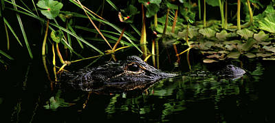 Photograph - Alligator Portrait. Three Lakes W.m.a. by Chris  Kusik