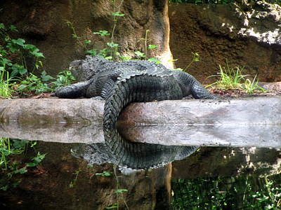 Photograph - Alligator Reflection  by Diannah Lynch