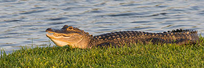 Photograph - Alligator Smile by Ed Gleichman