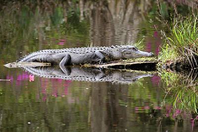 Photograph - Alligator Sunbathing by Daniela Duncan