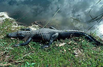 Photograph - Alligator Sunning Itself by Millard H. Sharp