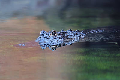 Photograph - Alligator Swim by Songquan Deng