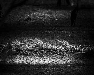 Alligator Photograph - Alligator Trio by Mark Andrew Thomas