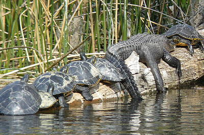 Alligator Turtle Train Art Print by Krista Keck