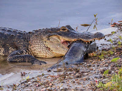 Alligator Photograph - Alligator With A Fish by Zina Stromberg