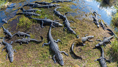 Anhinga Wall Art - Photograph - Alligators Along The Anhinga Trail by Panoramic Images
