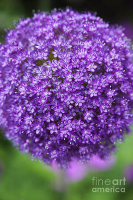 Allium Ambassador Art Print by Tim Gainey
