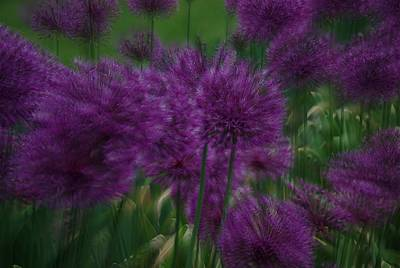 Print featuring the photograph Allium Double Exposure by Ken Dietz