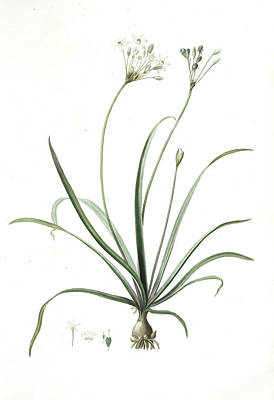 Onion Drawing - Allium Fragrans, Ail Parfumé, Fragrant Onion by Artokoloro