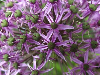 Photograph - Allium by Gene Cyr