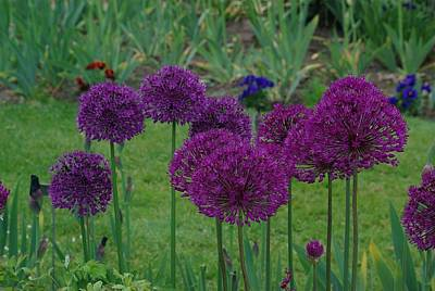 Print featuring the photograph Allium Giganteum by Ken Dietz