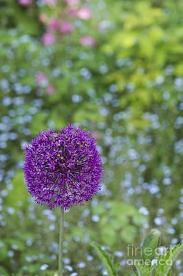 Allium Hollandicum Purple Sensation Flower Art Print