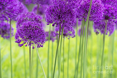 Allium Hollandicum Purple Sensation Flowers Art Print by Tim Gainey