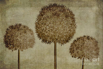 Stem Digital Art - Allium Hollandicum Sepia Textures by John Edwards
