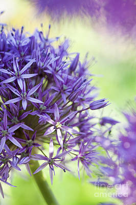 Anthers Photograph - Allium Globemaster Abstract by Tim Gainey