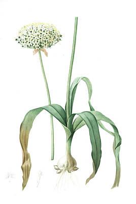 Noir Drawing - Allium Nigrum, Ail Noir, Black Garlic, Redouté by Artokoloro