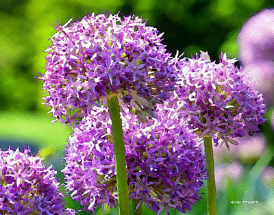 Florals Royalty-Free and Rights-Managed Images - Allium series - Bright Light by Moon Stumpp