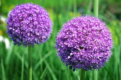 Allium Original by Terence Davis