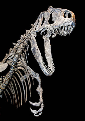 Photograph - Allosaurus by Millard H. Sharp
