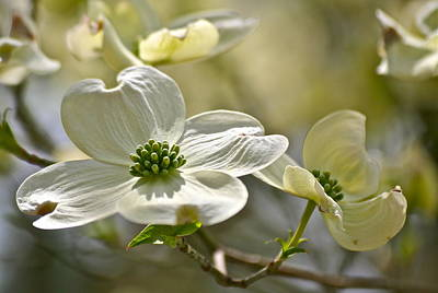 Alluring Dogwoods Art Print by Eve Spring