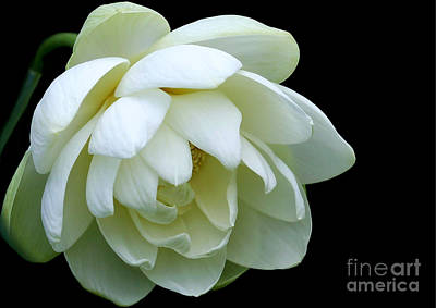 Photograph - Alluring Lotus by Sabrina L Ryan