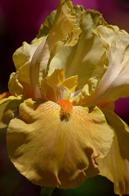 Photograph - Alluring Peach Iris by Maria Urso