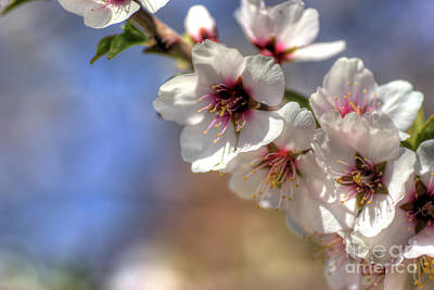 Art Print featuring the photograph Almond Blossoms by Jim and Emily Bush