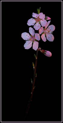 Photograph - Almond Blossoms by Kathy Sampson