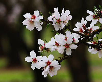 Photograph - Almond Blossoms by Robert Woodward