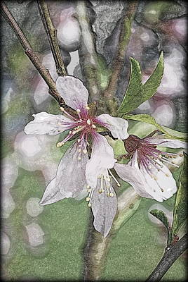 Digital Art - Almond Flowers by Kathy Sampson